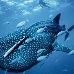 Observation et nage avec les requins baleines de nosy Komba Madagascar